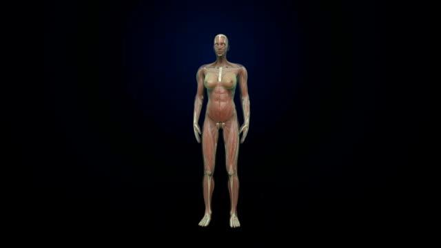 vidéos et rushes de rotation du muscle humain féminin, système sanguin, lumière bleue aux rayons x. - nervure
