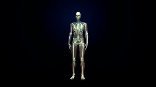 Rotating Female Human skeletal structure, bone system. video
