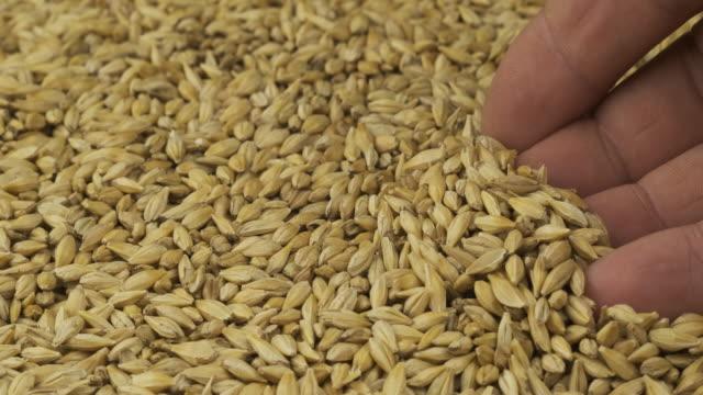 大麦と農家の手の回転粒。農夫は穀物をチェックします。手のひらの上で穀物を拾う男の手のクローズアップ。 - 大麦点の映像素材/bロール