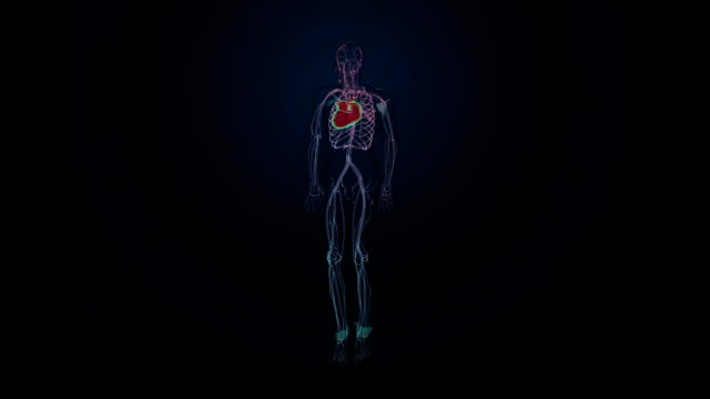 Rotating Human cardiovascular system, Blue  X-ray light. Rotating Human cardiovascular system, Blue  X-ray light. blood flow stock videos & royalty-free footage