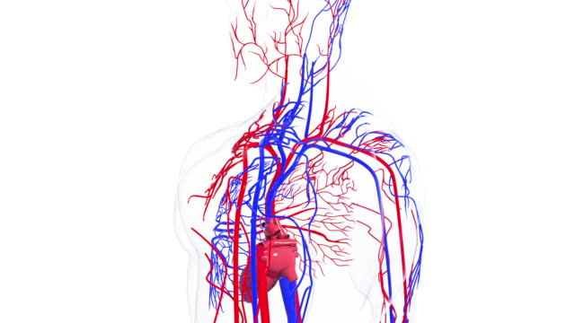 vídeos de stock e filmes b-roll de rotating model of the human circulatory system. 3d rendering blood vessels. the medical background, computer generated - veia