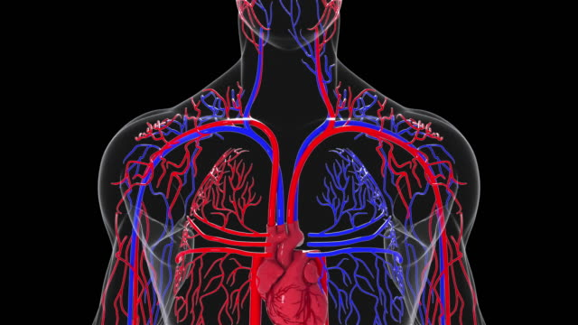 Rotating model of the human circulatory system. 3d rendering blood vessels. The medical background, computer generated
