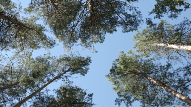 BOTTOM VIEW: Rotation between pines in a forest video