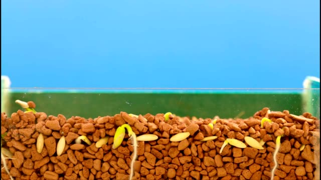 Rotation growth of plants beans, time lapse shot in 10 days video