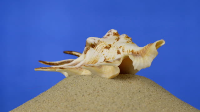 vídeos de stock e filmes b-roll de rotation, light brown, beautiful seashell lies on sand. isolated - bugio