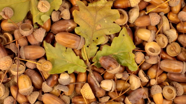Rotation of acorns and stem with leaves video