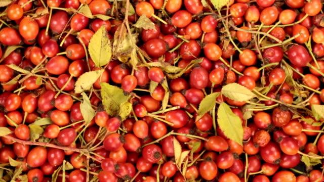 秋の紅葉 dogrose 果実から背景の回転 - イヌバラ点の映像素材/bロール