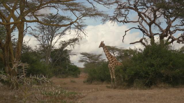 Rothschild's Giraffe at Solio Game Reserve, Kenya video
