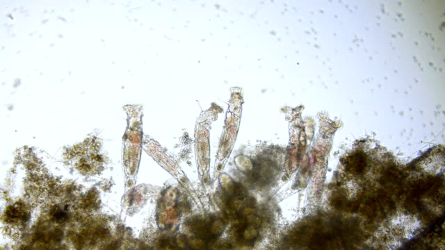 rotifers Video micrograph of rotifers feeding. Live specimen. Wet mount, 10X, transmitted brightfield illumination. high scale magnification stock videos & royalty-free footage