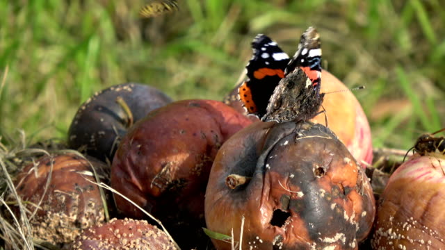 Rotten apples  and  butterfly red admiral video