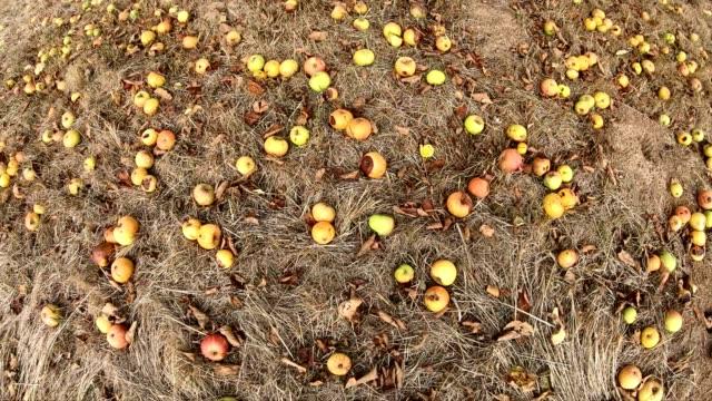 faule äpfel, glücksfall, äpfel im überfluss, obstgarten - verfault stock-videos und b-roll-filmmaterial