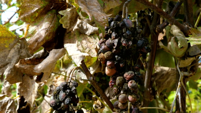 Rotten moldy grapes. Rotten moldy berries of grape affected by disease. Old dried vines and leaves. crop plant stock videos & royalty-free footage