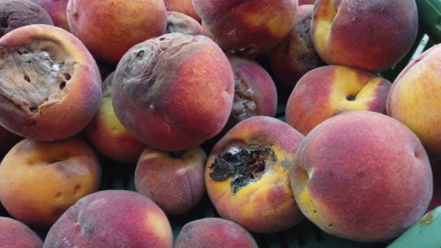 腐った桃は小さなハエでクローズアップ - 腐敗点の映像素材/bロール