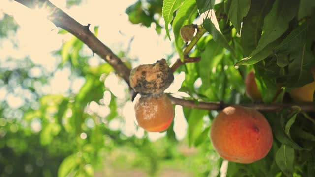 rotten peaches on the tree. Agriculture.  fruit tree disease. poor harvest. food crisis.