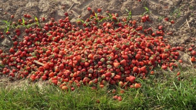 ruttna jordgubbar som ligger på en åkermark. soporna av jordbruk - food waste bildbanksvideor och videomaterial från bakom kulisserna