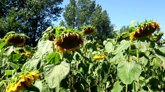 Rotten sunflowers video