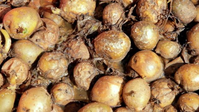 rotten vegetables infested by flies and maggots - sinek stok videoları ve detay görüntü çekimi