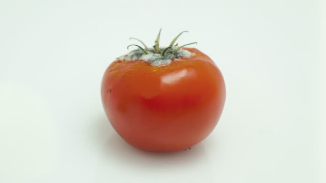 Rotting tomato video