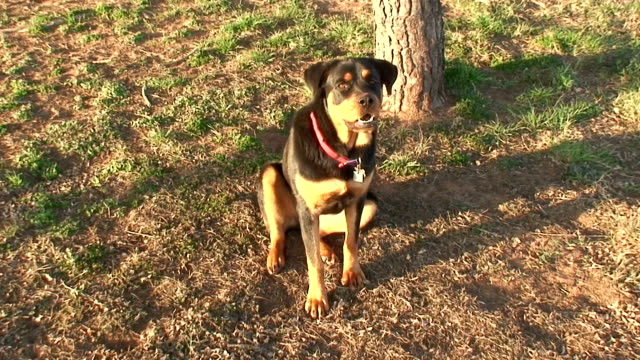 Rottweiler Sitting in Front of Tree video