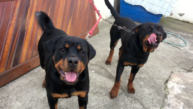 Rottweiller dogs chained to the wall wanting attention and to escape from domestication video
