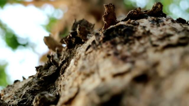 stockvideo's en b-roll-footage met birma padauk boom oppervlak ruw en uitvoeren van mieren - schors