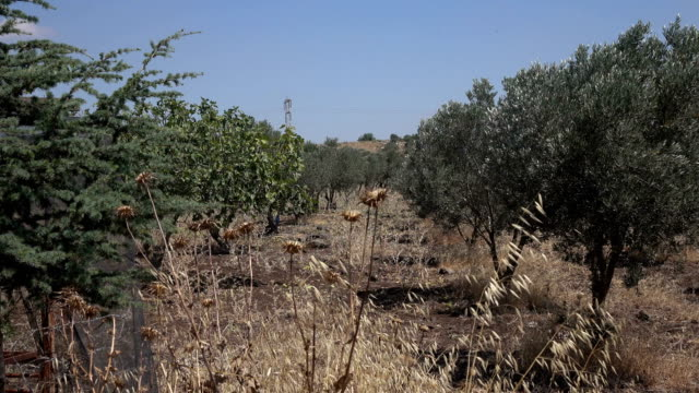 Rough Zoom Down Line of Olive Trees in Israel video