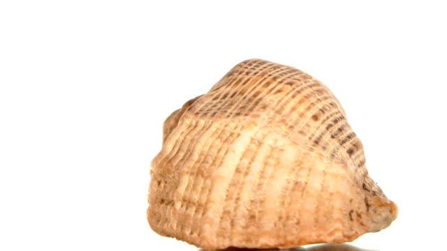 vídeos de stock e filmes b-roll de round concha do mar em branco, rotação, plano aproximado - bugio