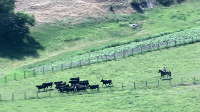 Rounding Up Cattle  - Aerial View - Montana,  Ravalli County,  helicopter filming,  aerial video,  cineflex,  establishing shot,  United States video