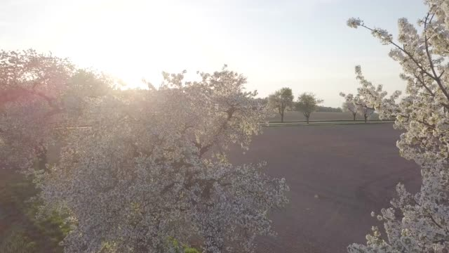 Row of blooming cherry trees in spring time. Aerial drone shot of Beautiful trees alley with asphalt road and brown fields in the background. View of white delicate flowers branches of fruit tree