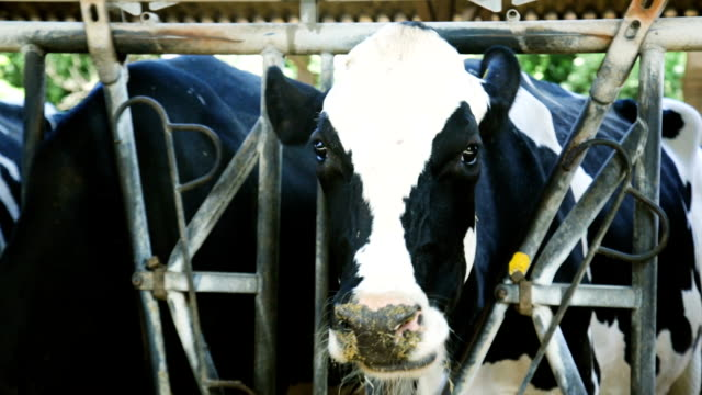 row of cows on dairy farm - giovenca video stock e b–roll