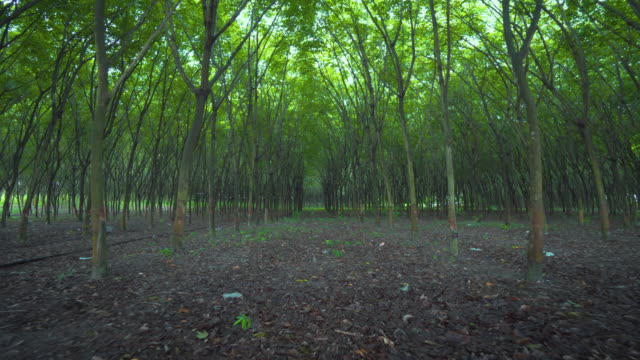 Row of rubber tree plantation,Stabilized Shot video