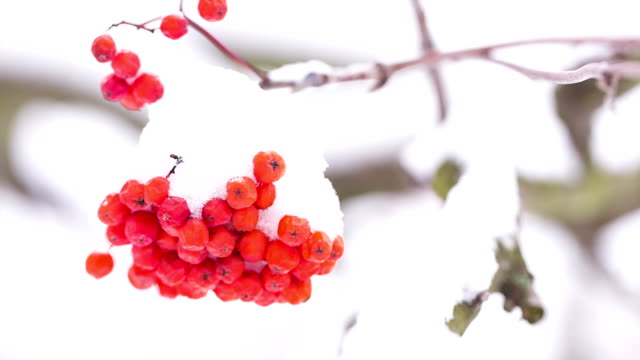 Rowan berries covered with snow. video
