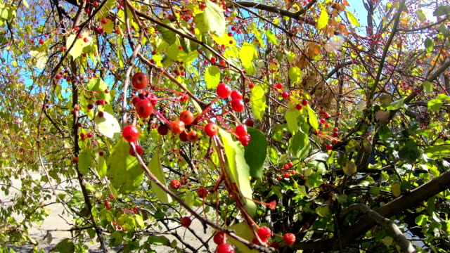 Rowan berries in the fall on a branch.