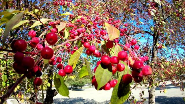 Rowan berries in the fall on branch.