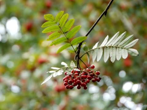rowan berries - 管卡規格 個影片檔及 b 捲影像