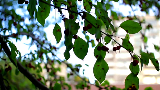 Rowan green leaves video