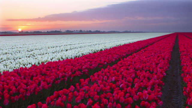 Rows of colourful tulips at sunrise in The Netherlands  tulip stock videos & royalty-free footage