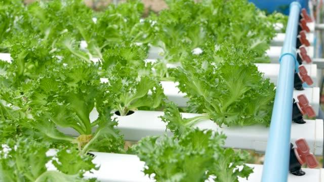 rader av färska saftiga växter växer på moderna ekologiska hydroponiska gård, trädgård sängar. begreppet hälsosam, miljövänlig balanserad kost rik på vitaminer. jordbruks teknik, go green innovationer. - roof farm bildbanksvideor och videomaterial från bakom kulisserna