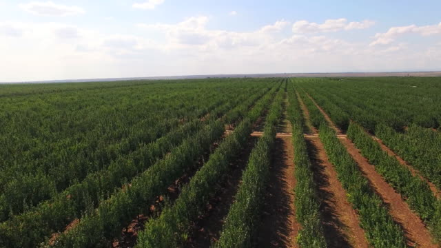 Rows Of Green Standard Apple Trees In Large Garden video