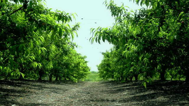 Rows of green trees in orchard video