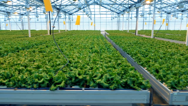 Rows of lettuce at a greenhouse.