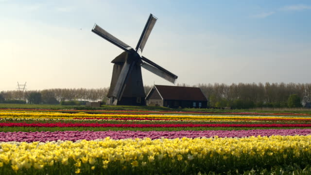 AERIAL: Rows of lovely colorful tulip flowers in front of antique windmill video