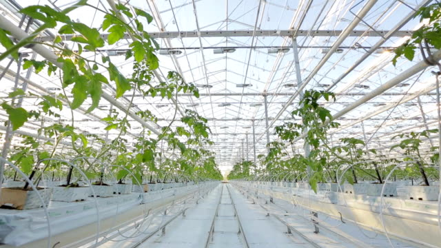 Rows of plants in a large greenhouse. video