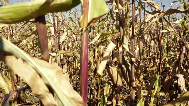 Rows of ripe corn on the field video