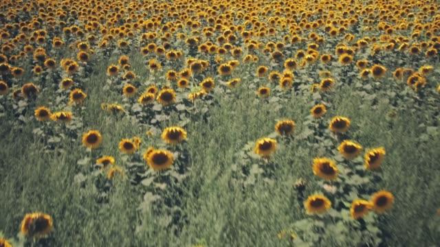 stockvideo's en b-roll-footage met rijen van zonnebloemen op een gebied in de zomer. luchtdronemening - fresh start yellow