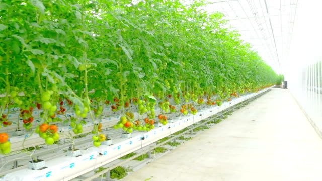 Rows of tomato hydroponic plants in greenhouse video