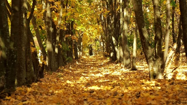 Rows of trees in autumn forest. Medium shot. Ground covered with yellow fallen leaves. Trees make an arch above the forest path. Autumn forest landscape. Blurred background. Selective soft focus