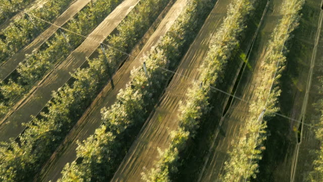 AERIAL Rows Of Trees In The Orchard video