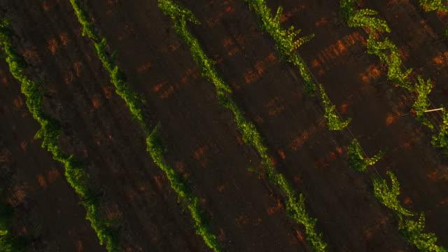 rows of vineyard vines - vite flora video stock e b–roll