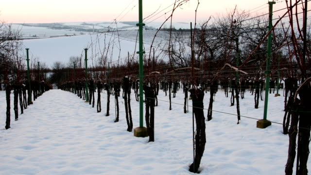 Rows of vineyards covered with white snow in winter. Vineyards at sunset. video
